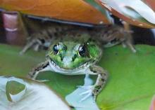 A green frog at Tower Hill Botanic Garden in Boylston, photographed by Sandy Howard.