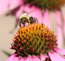 A honey bee at Mass Audubon's Drumlin Farm Wildlife Sanctuary in Lincoln, photographed by Steve Forman.
