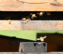 Honey bees at Mass Audubon's Drumlin Farm Wildlife Sanctuary in Lincoln, photographed by Steve Forman.