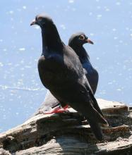 Rock Pigeons at Hager Pond in Marlborough, photographed by Steve Forman.