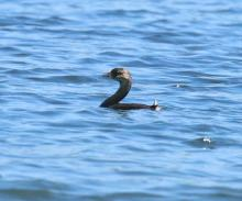 A pied-billed grebe on the Sudbury Reservoir in Southborough, photographed by Steve Forman.