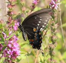 A spicebush swallowtail at Breakneck Hill Conservation Land in Southborough, photographed by Steve Forman.