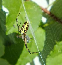 A black and yellow garden spider in Northborough, photographed by Sandy Howard.