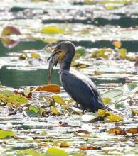 A double-crested cormorant at Farm Pond in Framingham, photographed by Steve Forman.
