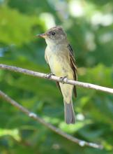 An eastern wood-pewee at Breakneck Hill Conservation Land in Southborough, photographed by Steve Forman.