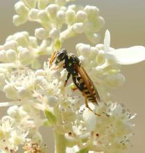A European paper wasp in Framingham, photographed by Steve Forman.