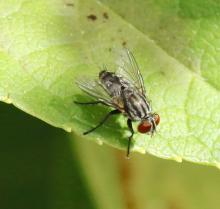 A flesh fly in Framingham, photographed by Steve Forman.