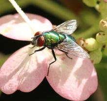 A green bottle fly in Framingham, photographed by Steve Forman.