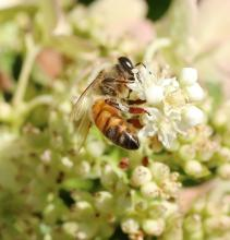 A honey bee in Framingham, photographed by Steve Forman.