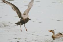 A mallard scolding a gull at Hager Pond in Marlborough, photographed by Steve Forman.
