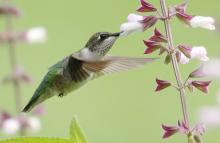 A ruby-throated hummingbird at Tower Hill Botanical Garden in Boylston, photographed by Steve Forman.
