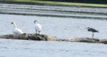 Mute swans and a great blue heron at Hager Pond in Marlborough, photographed by Steve Forman.