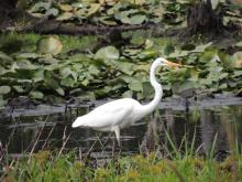 A great egret at Assabet River National Wildlife Refuge, photographed by Dave Longland.