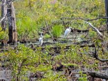 Great egrets at Assabet River National Wildlife Refuge, photographed by Dave Longland.
