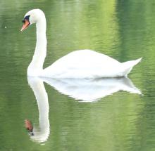 A mute swan at Grist Mill Pond in Sudbury, photographed by Steve Forman.