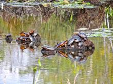 Painted turtles at Assabet River National Wildlife Refuge, photographed by Dave Longland.