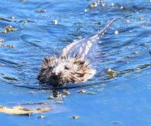 A muskrat at Farm Pond in Framingham, photographed by Steve Forman.