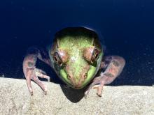 A green frog in Sudbury, photographed by Dawn Dentzer.
