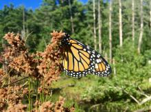 A monarch butterfly at Heath Hen Meadow in Stow, photographed by Dawn Dentzer.