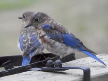Eastern bluebirds in Sudbury, photographed by Lisa Eggleston.