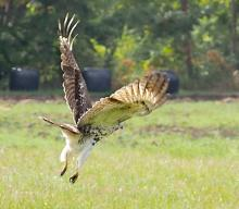 A red-tailed hawk at Chestnut Hill Farm in Southborough, photographed by Sandy Howard.