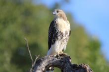 A red-tailed hawk at Heard Farm in Wayland, photographed by Sue Feldberg.