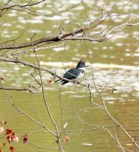 A belted kingfisher at Hager Pond in Marlborough, photographed by Steve Forman.
