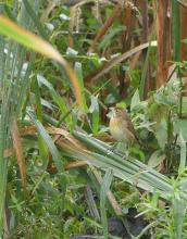 A dickcissel near the Sudbury River in Lincoln, photographed by Norm Levey.