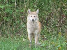 A coyote in Stow.