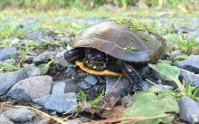 A painted turtle at Assabet River National Wildlife Refuge in Maynard, photographed by Chris Renna.