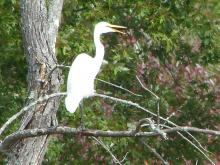 A great egret along the Sudbury River in Concord, photographed by Terri Ackerman.