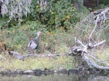 A turkey along the Sudbury River in Concord, photographed by Terri Ackerman.