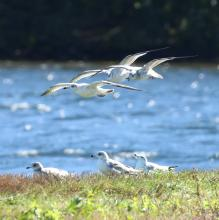 Ring-billed gulls at Farm Pond in Framingham, photographed by Steve Forman.