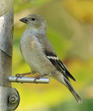 An American goldfinch at Mass Audubon's Drumlin Farm Wildlife Sanctuary in Lincoln, photographed by Steve Forman.