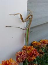 A praying mantis in Sudbury, photographed by Lisa Eggleston.
