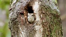 An eastern screech owl at Great Meadows National Wildlife Refuge in Concord, photographed by Russ Place.
