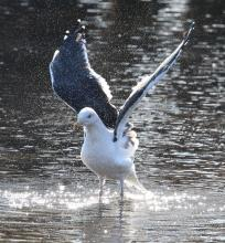 A great black-backed gull at Hager Pond in Marlborough, photographed by Steve Forman.