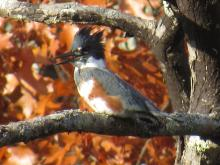 A belted kingfisher along the Assabet River in Stow.