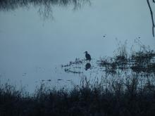 A great blue heron in Lincoln, photographed by Harold McAleer.