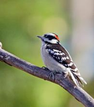 A downy woodpecker in Framingham, photographed by Joan Chasan.