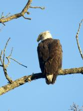 A bald eagle at Heard Pond in Wayland, photographed by Lisa Eggleston.