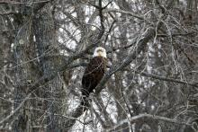 A bald eagle in Billerica, photographed by Betsy Gallagher.