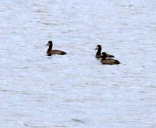 Lesser scaup on the Sudbury Reservoir in Southborough, photographed by Steve Forman.