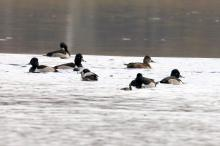 Ring-necked ducks at Farm Pond in Framingham, photographed by Steve Forman.