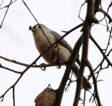A tufted titmouse at Farm Pond in Framingham, photographed by Steve Forman.