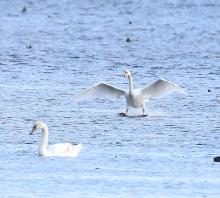 Mute swans at Nichols Reservoir in Westborough, photographed by Steve Forman.