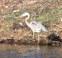 A great blue heron along the Sudbury River in Southborough, photographed by Steve Forman.