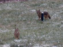 Coyotes in Sudbury, photographed by Lisa Eggleston.