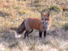 A red fox in Sudbury, photographed by Lisa Eggleston.