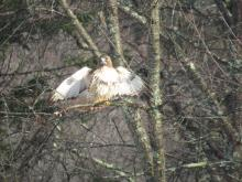 A red-tailed hawk in Stow.